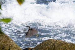 Pacyfik refuje egret, czarny pokojowy rafowy egret patrzeje dla ryba przy zdjęcie royalty free