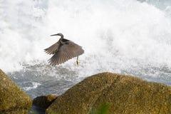 Pacyfik refuje egret, czarny pokojowy rafowy egret patrzeje dla ryba przy zdjęcie stock