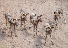 Paczka Afrykańscy Dzicy psy Obrazy Stock