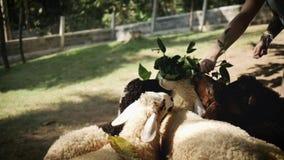 Paczka baranki je w gospodarstwie rolnym zdjęcie wideo