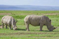 Paczka biała nosorożec obraz royalty free