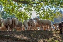 Paczka cakla zakończenie wpólnie jest ołowiany sheepherder zdjęcie royalty free