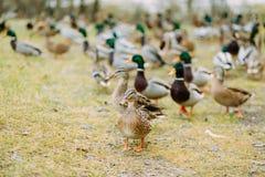 Paczka kaczki outdoors w polu Zdjęcie Royalty Free