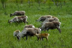 Paczka reniferowa ` s łasowania trawa w lecie Lapland, Finlandia zdjęcie stock
