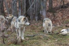 Paczka szalunków wilki Obrazy Royalty Free