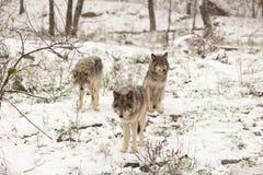 Paczka szalunków wilki w zimy scenie Zdjęcia Stock