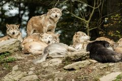 Paczka wilki Fotografia Royalty Free