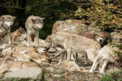 Paczka wilki Obrazy Stock