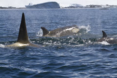 Paczka zabójców wieloryby pływa wzdłuż Antarktycznego brzegowego pogodnego s Zdjęcie Royalty Free