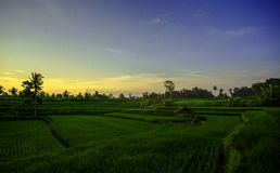 Pad field. Balinesian pad field, rice field, near ubud Stock Photos