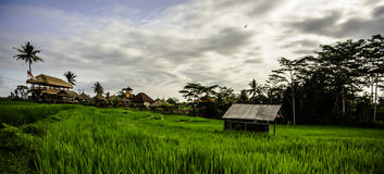 Pad field. Balinesian pad field, ubud, indonesia Stock Photo