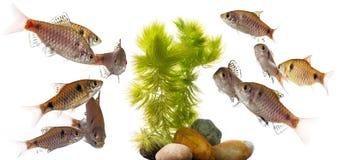 Padamya van Puntius van aquariumvissen Stock Foto's