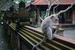 Padangtegal Monkey Forest, famous touristic place in Ubud, Bali Indonesia Stock Photo