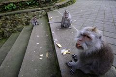 Padangtegal Monkey Forest, famous touristic place in Ubud, Bali Indonesia Stock Photography