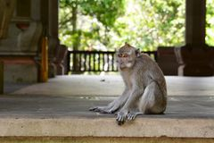 在主要寺庙附近的一只巴厘语长尾的猴子 猴子森林Padangtegal村庄 Ubud 巴厘岛 印度尼西亚 免版税图库摄影