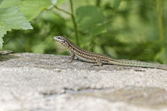 Padarcis tiliguerta, Tyrrhenian Wall Lizard Royalty Free Stock Image