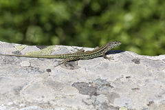 Padarcis tiliguerta, Tyrrhenian Wall Lizard (male)  on a wall in Corsica, France Royalty Free Stock Photography