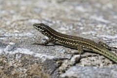 Padarcis tiliguerta, Tyrrhenian Wall Lizard on a wall in Corsica, France Stock Image