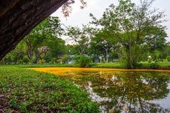Padauk的下落的黄色瓣开花盖池塘用晚上天空在Phutthamonthon公园,佛统府, Tha 免版税库存照片