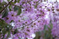 Padauk-Blume oder Papilionoideae-Blume, das Symbol vom königlichen Stockbild