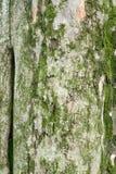 Padauk Tree Bark, Texture Background Royalty Free Stock Images