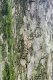 Padauk Tree Bark, Texture Background Stock Images