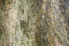 Padauk Tree Bark, Texture Background Stock Photography