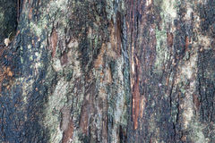 Padauk Tree Bark, Texture Background Royalty Free Stock Photo