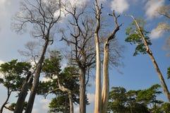 Padauk tree Royalty Free Stock Photo