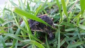 Padda i gräset Royaltyfri Foto