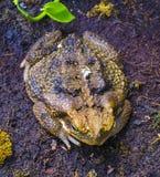 Paddagroda i vår Många grodor finnas Arkivfoton