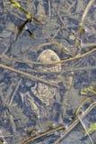 PaddagrodaBufo bufo under vatten Royaltyfria Foton