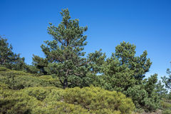 Padded brushwood and Scots Pine forest Royalty Free Stock Photos
