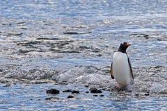 Paddelende pinguïn Royalty-vrije Stock Fotografie
