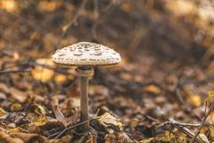 Paddestoel in de herfstbos Stock Fotografie