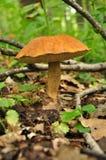 Paddestoel in een bos Stock Fotografie