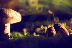Paddestoel en twee eikels met kappen in de de herfstzon royalty-vrije stock foto