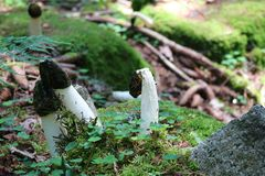 Paddestoel gemeenschappelijke stinkhorn in natuurlijk milieu royalty-vrije stock afbeeldingen