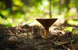 Paddestoel in het bos stock fotografie