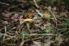 Paddestoel in het bos Stock Foto
