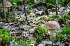Paddestoel in het bos Stock Afbeelding
