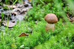 Paddestoel in het bos Stock Foto's