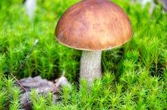 Paddestoel in het bos Royalty-vrije Stock Fotografie