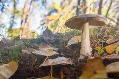 Paddestoel in het bos op bed van bladeren stock afbeelding