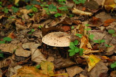 Paddestoel het groeien onder bladeren Stock Afbeelding