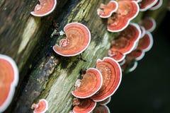 Paddestoel het groeien op bomen Royalty-vrije Stock Foto's