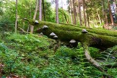 Paddestoel het groeien op een boom in het hout stock fotografie