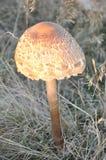Paddestoel, Lepiota-procera Royalty-vrije Stock Foto