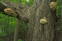 Paddestoel op boom in het bos Stock Afbeelding