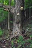 Paddestoel op boom in het bos Royalty-vrije Stock Afbeeldingen
